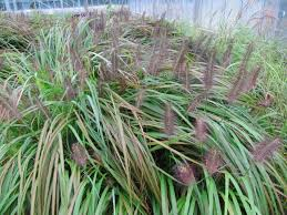 Tall Grass Landscaping by Tall Grasses For Your Tall Yard Crasstalk