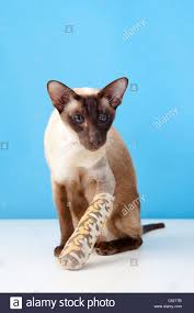 chocolate point siamese cat with broken paw leg in bandage