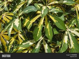 tropical ornamental cassava image photo bigstock