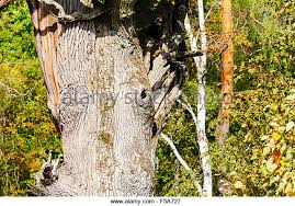 thick tree trunk stock photos thick tree trunk stock images alamy