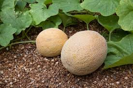 Gardening Zones Usa - growing cantaloupe and honeydew melons bonnie plants
