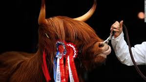 cow ribbon eleanor a highland cow from the ranch fold farm in letham