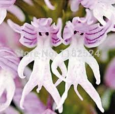 monkey orchids aliexpress buy plants orchids italica seeds 50pcs