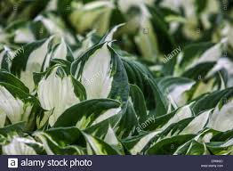 plant with decorative and ornamental foliage hosta stock photo