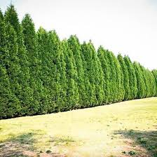 best 25 cypress trees for sale ideas on pinterest cypress trees