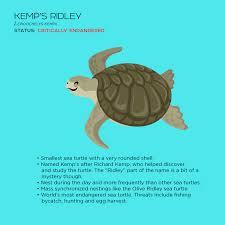 kemp u0027s ridley sea turtle sea turtle inc