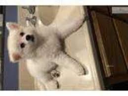miniature american eskimo dog life expectancy view ad american eskimo dog puppy for sale california los