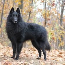 belgian sheepdog poodle mix embark dog dna test breed