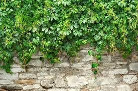 Green Plants Stone Wall And Green Plants Stock Photo Colourbox