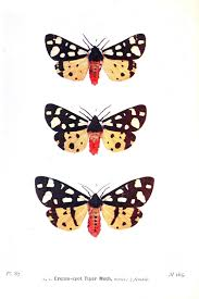 animal u2013 insect u2013 butterfly u2013 british moth 2 vintage printable