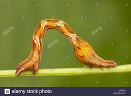 The Inchworm Inchworm Stock Photos U0026 Inchworm Stock Images Alamy