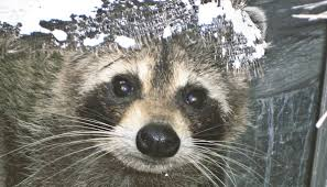 How To Get Rid Of Raccoons In Backyard How To Keep Raccoons Away From Your House Yard Garbage Pool