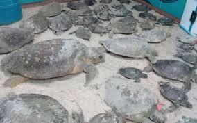 imagenes tortugas verdes tortugas verdes varadas por el frío