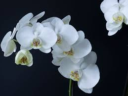 moth orchid phalaenopsis amabilis moth orchid world of flowering plants