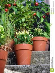 Vegetable Pot Garden by Container Garden Vegetables Plants In Pot Stock Photo Image