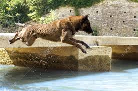 belgian sheepdog brown picture of a purebred belgian sheepdog malinois who jumping in