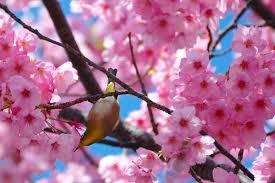 file bird on a cherry tree 2457925874 jpg wikimedia commons