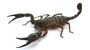 what does scorpion dreams meaning