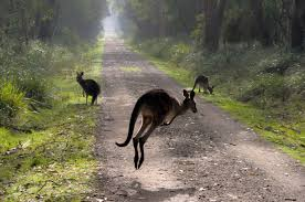 9 places to see kangaroos in the wild melbourne