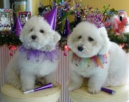 bichon frise years 327 best bichon crazy images on pinterest bichons puppies and