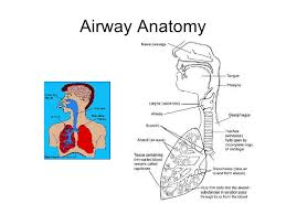 Anatomy And Physiology Of Lungs Anatomy Physiology And Pathology Of The Lung
