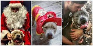 american pitbull terrier wanted dog rescue stories mr bingley was seized during a drug bust
