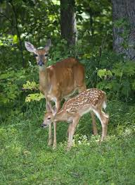 is that baby deer really orphaned effective wildlife solutions
