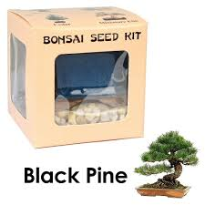 amazon com eve u0027s black pine bonsai seed kit woody complete kit