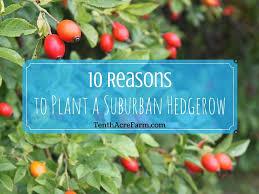 how to plant a hedgerow tenth acre farm