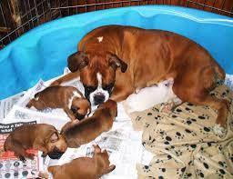 gta 5 boxer dog tanoak boxers breeder of boxer dogs ontario