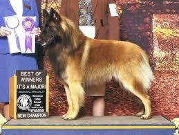 belgian sheepdog club of america national specialty shumaker hills belgian tervuren news