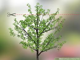 pruning flowering cherry trees uk best flowers and 2017
