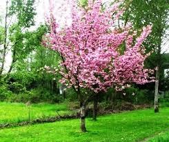 small cherry trees in small gardens cori matt garden
