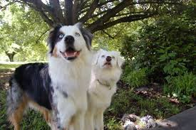 australian shepherd jacksonville blog u2013 level up dog training