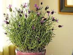 fragrant indoor plants what are the best indoor plants for fragrance
