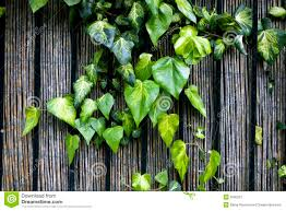a ivy climbing the wood fence stock image image 9595251