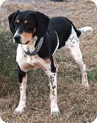 australian shepherd mixed with husky sterling adopted dog fairfax va australian shepherd beagle mix