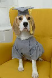 dog graduation cap pet graduation cap and gown dog cap and dog graduation gown