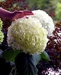 hydrangea flowers incrediball hydrangea perennial flowers
