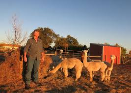 the alpaca bubble burst now backyard farmers are picking up the