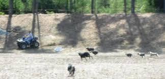 triple r australian shepherds about us