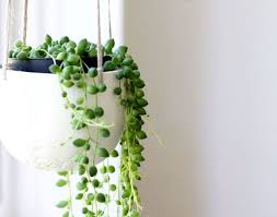 plant plants indoor awesome popular house plants string of