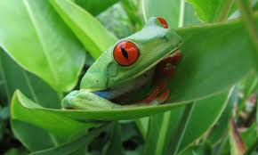 eyed leaf tree frog costa rica information where to see