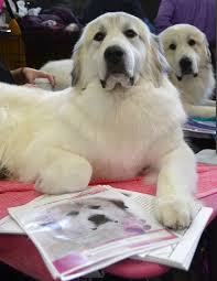 westminster australian shepherd 2014 diva the great pyrenees dogs pinterest pyrenees and dog