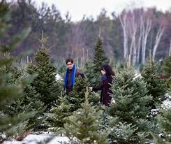 northeast christmas tree farms where you can cut your own tree