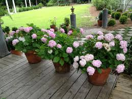 growing hydrangeas in pots container garden ideas hgtv