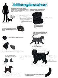 affenpinscher near me dogs that stay small american kennel club presents 20 miniature