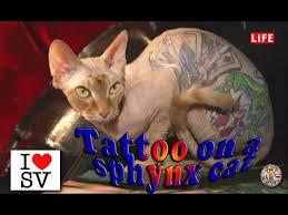 tattoo on a sphynx cat sv life youtube