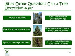 1 let u0027s learn about u2026 conifer trees 2 what is a conifer tree has