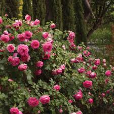 pretty in pink eden climbing rose bush fragrant 70 petals hardy